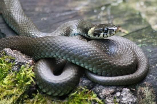 Serpiente, Kampo, Taiwan, China