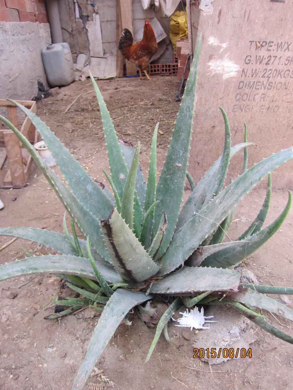 Aloe en Perú