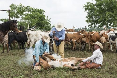 Vaquero, Caballo, Vaca, Canadá