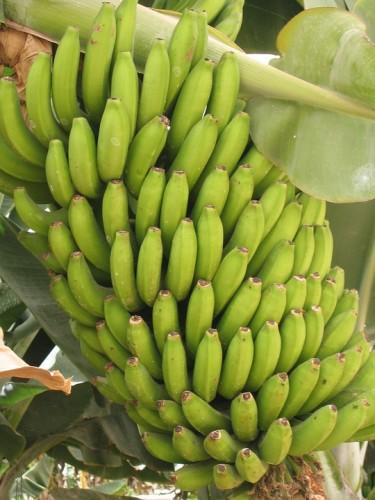 Plátano Isla