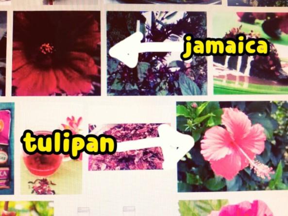 Jamaica y Tulipan. Ellos parecido igual. Pero,Tulipan tiene sus estambre más largos.
