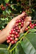 frutas de café