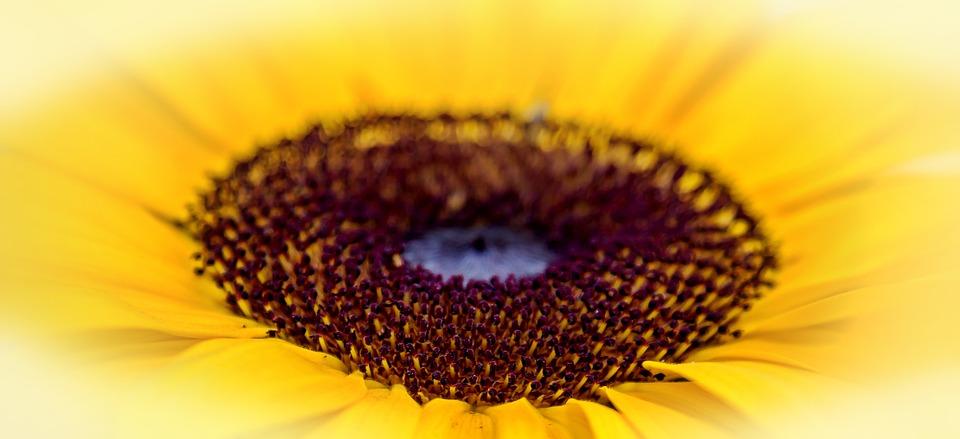 semilla de girasol, belleza, piel, fibra