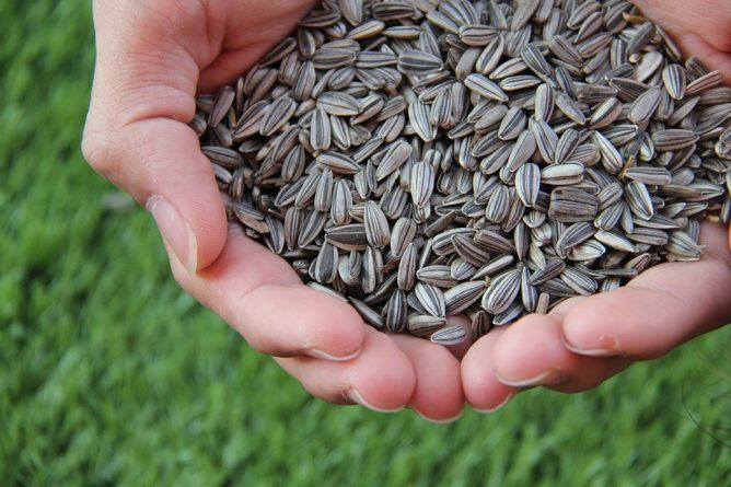 semilla de girasol